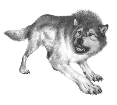 grey-wolf-aadil-siddiqui